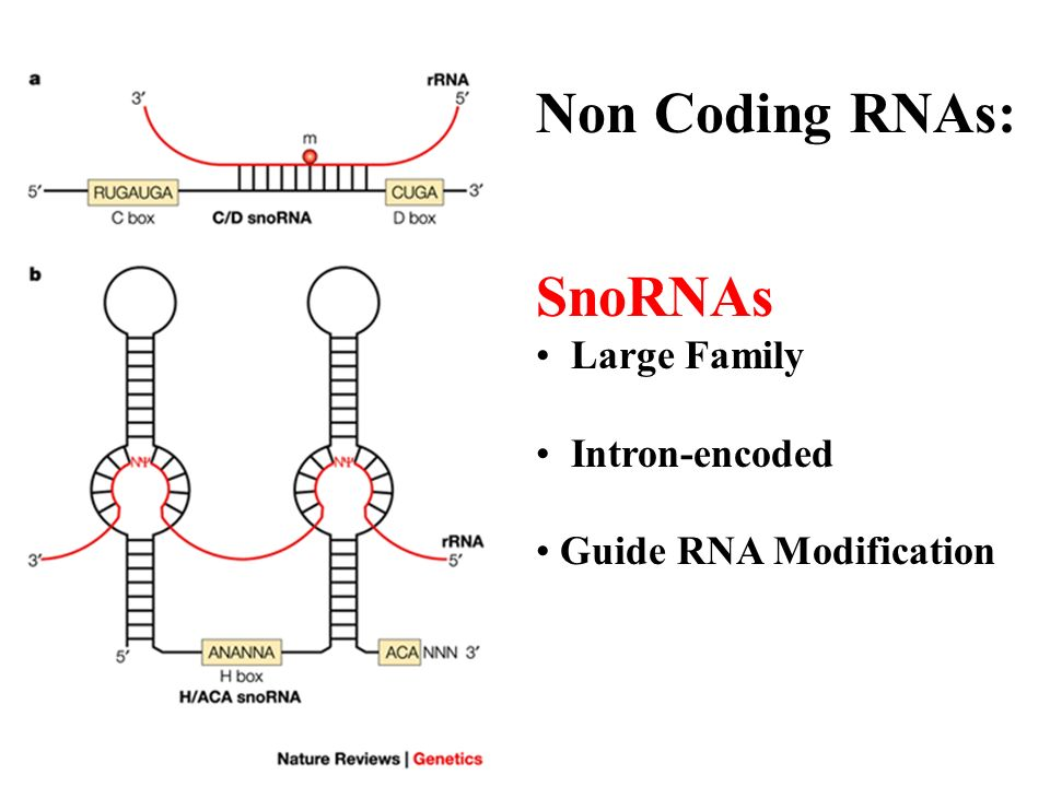 Non Coding RNAs: SnoRNAs Large Family Intron-encoded Guide RNA Modification