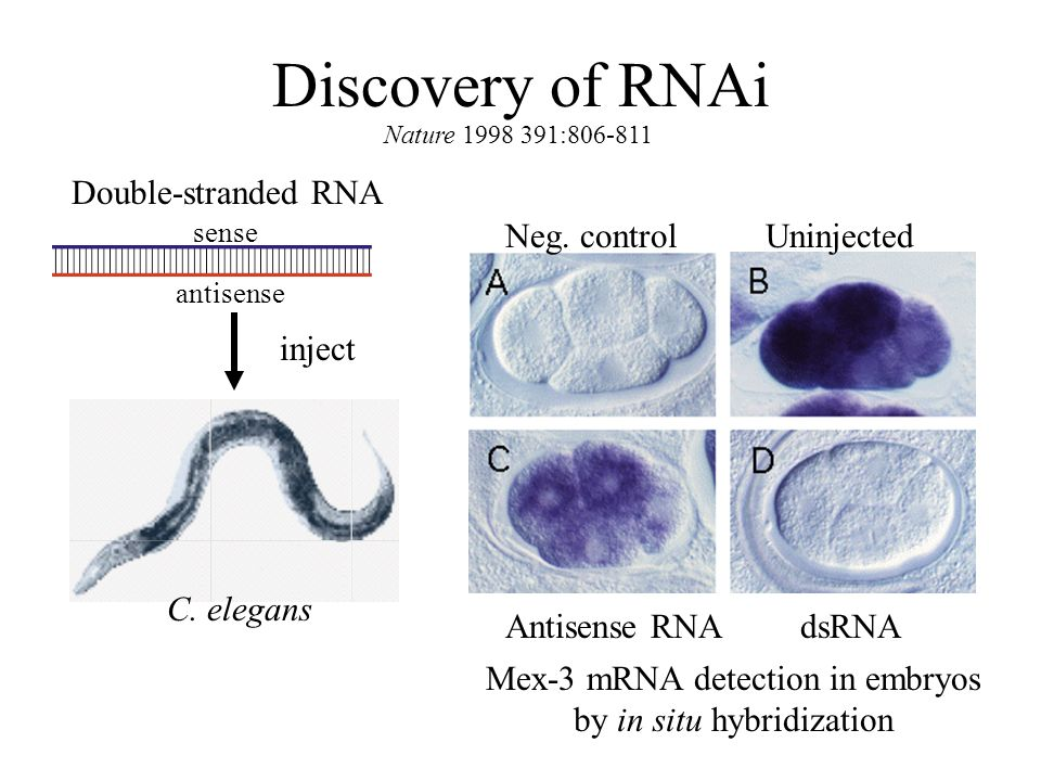Discovery of RNAi Double-stranded RNA inject C. elegans Neg.