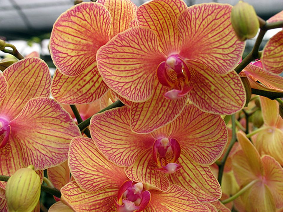 ANSWER # 20 THE ORCHIDTHE ORCHID