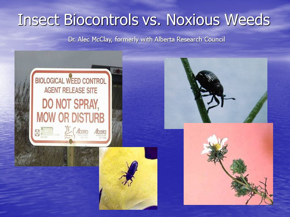 Insect Biocontrols vs. Noxious Weeds Dr. Alec McClay, formerly with Alberta Research Council