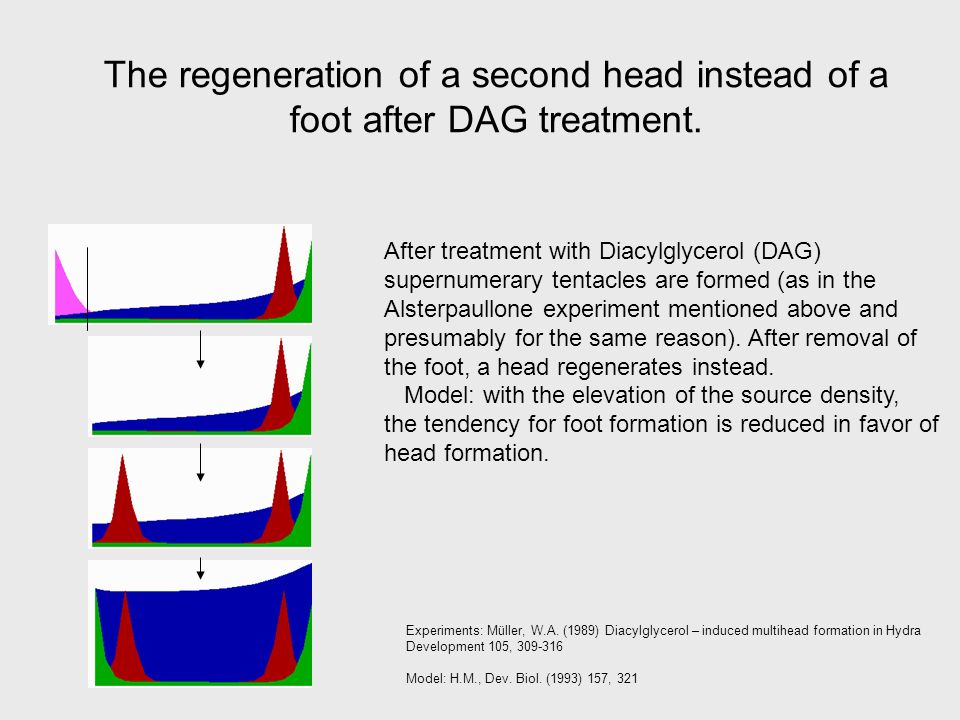 The regeneration of a second head instead of a foot after DAG treatment.