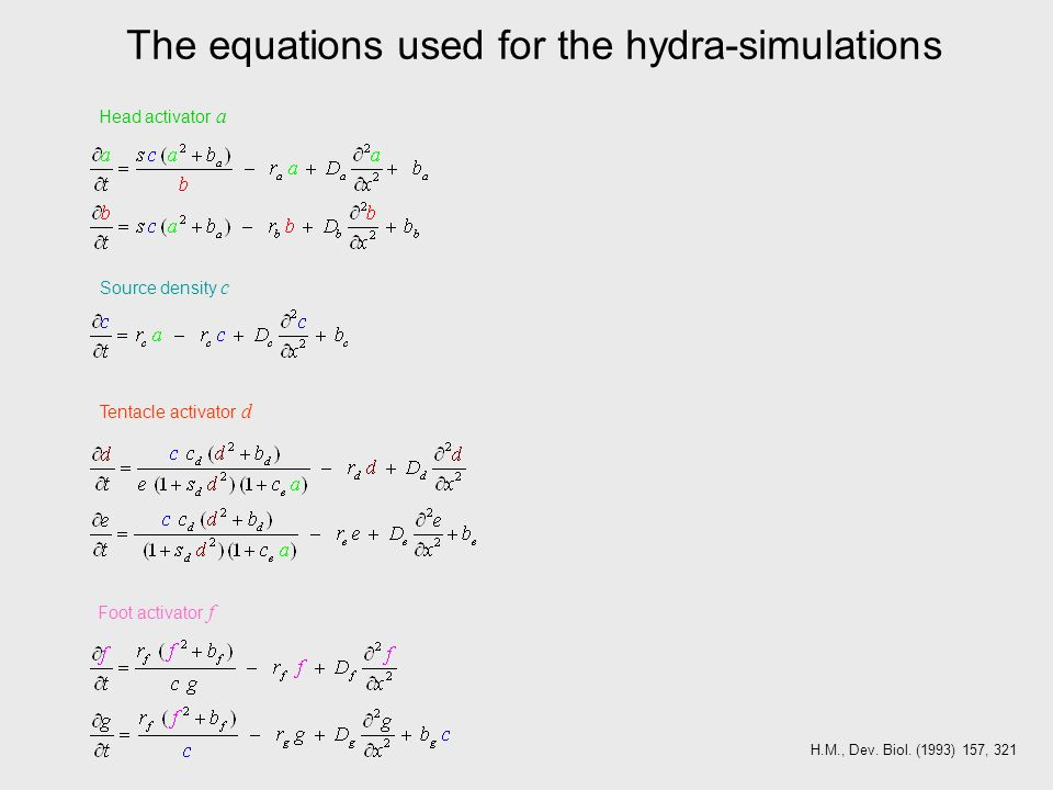 The equations used for the hydra-simulations Head activator a Source density c Foot activator f Tentacle activator d H.M., Dev.