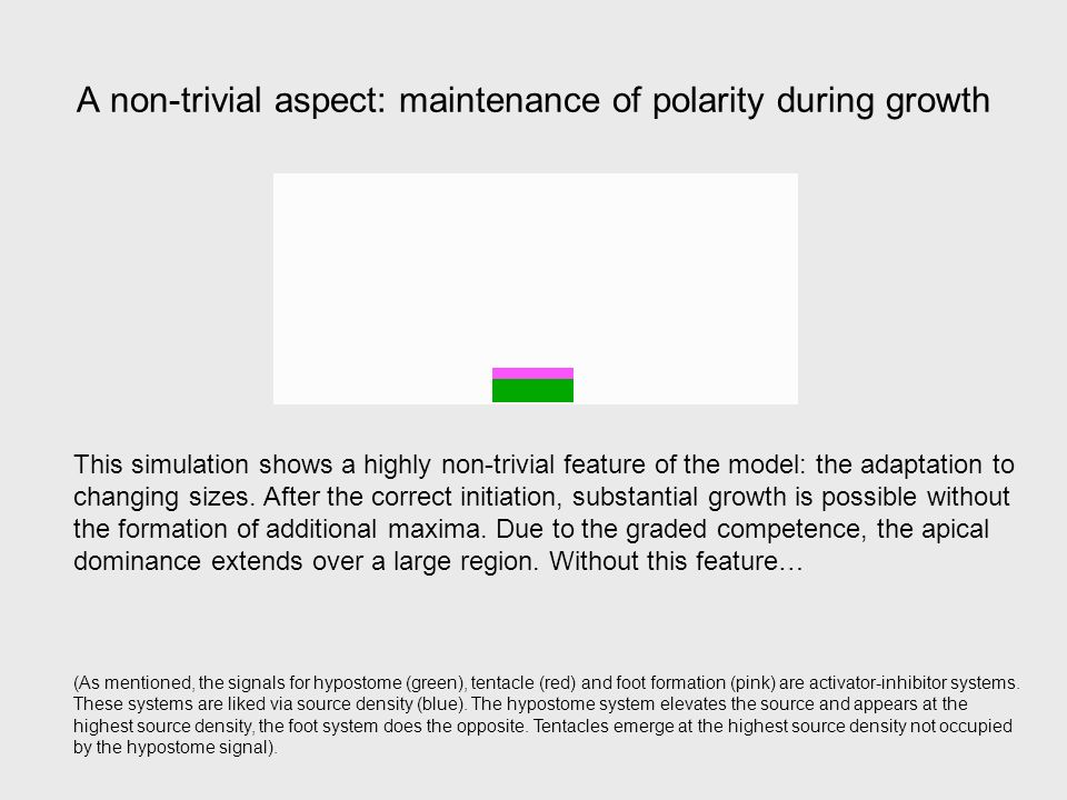 A non-trivial aspect: maintenance of polarity during growth This simulation shows a highly non-trivial feature of the model: the adaptation to changing sizes.