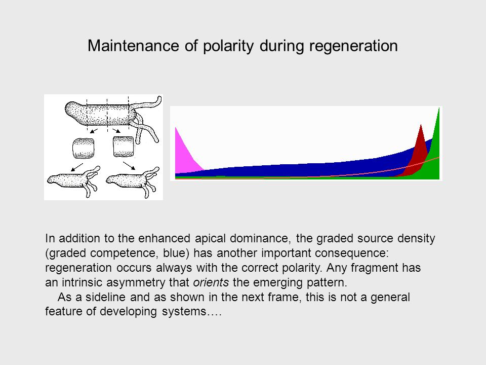 Maintenance of polarity during regeneration In addition to the enhanced apical dominance, the graded source density (graded competence, blue) has another important consequence: regeneration occurs always with the correct polarity.
