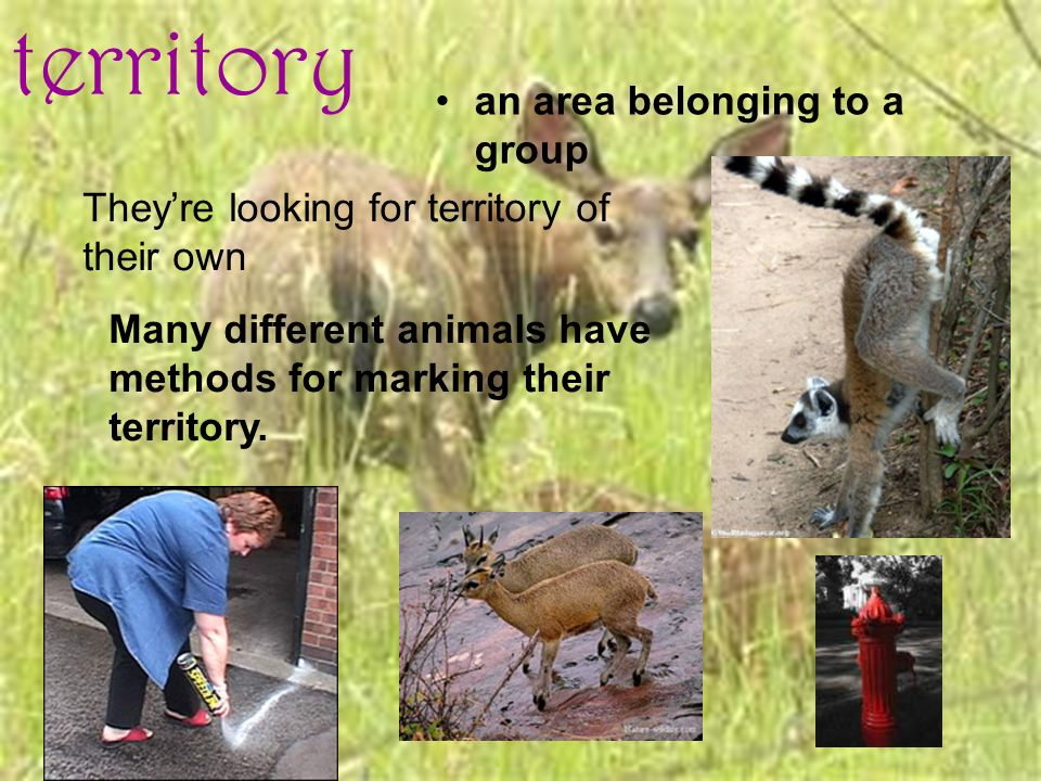 territory an area belonging to a group Theyre looking for territory of their own Many different animals have methods for marking their territory.