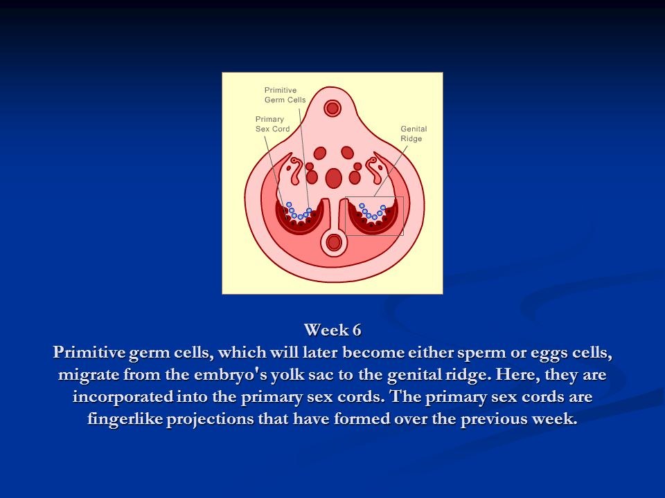 Week 6 Primitive germ cells, which will later become either sperm or eggs cells, migrate from the embryo s yolk sac to the genital ridge.