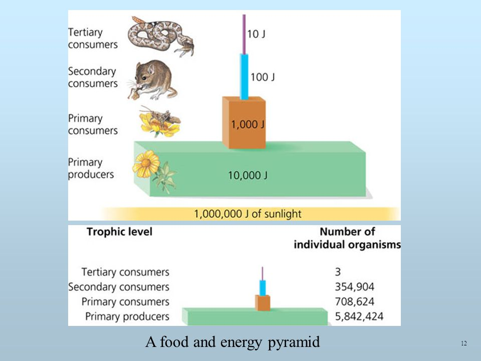 12 A food and energy pyramid