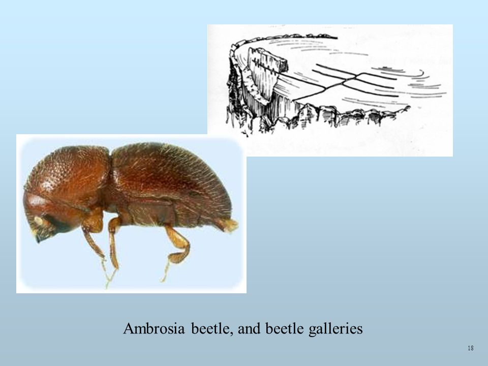 Ambrosia beetle, and beetle galleries 18