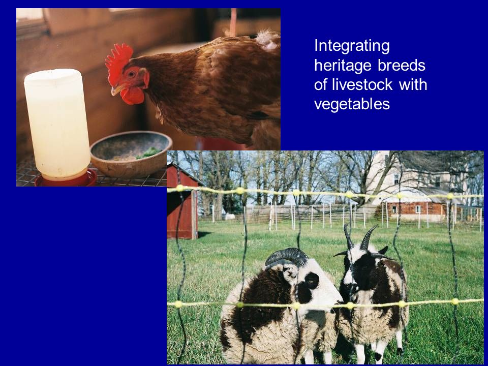 Integrating heritage breeds of livestock with vegetables