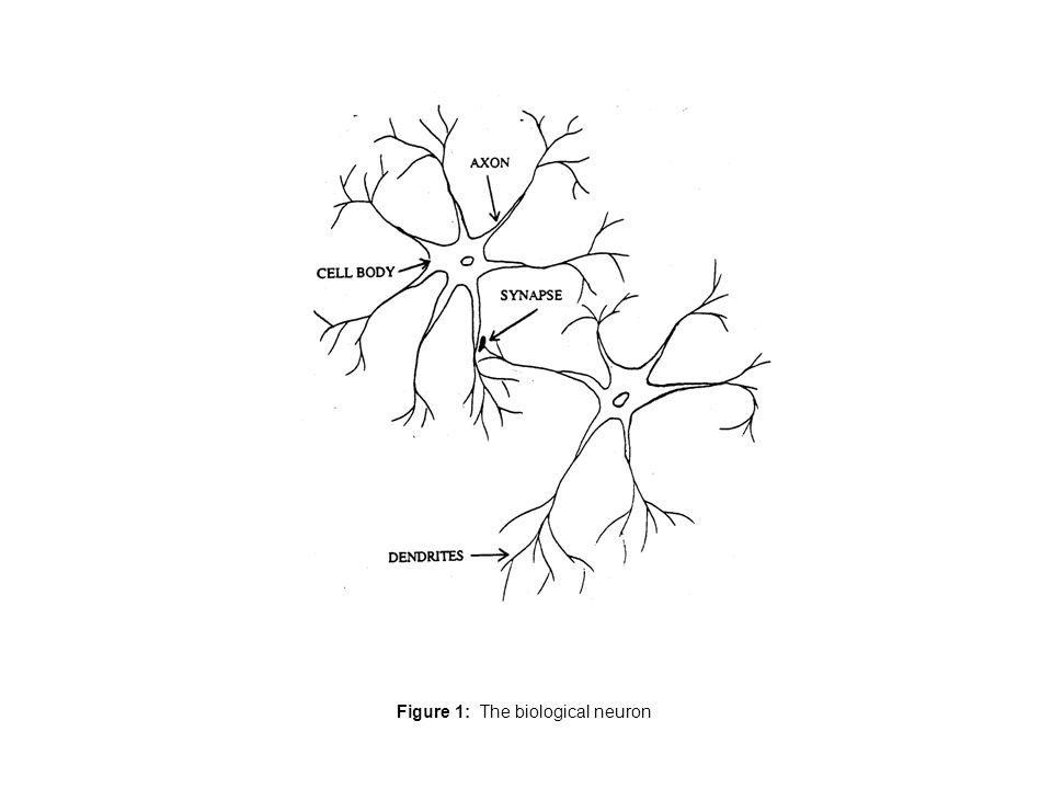 Figure 1: The biological neuron