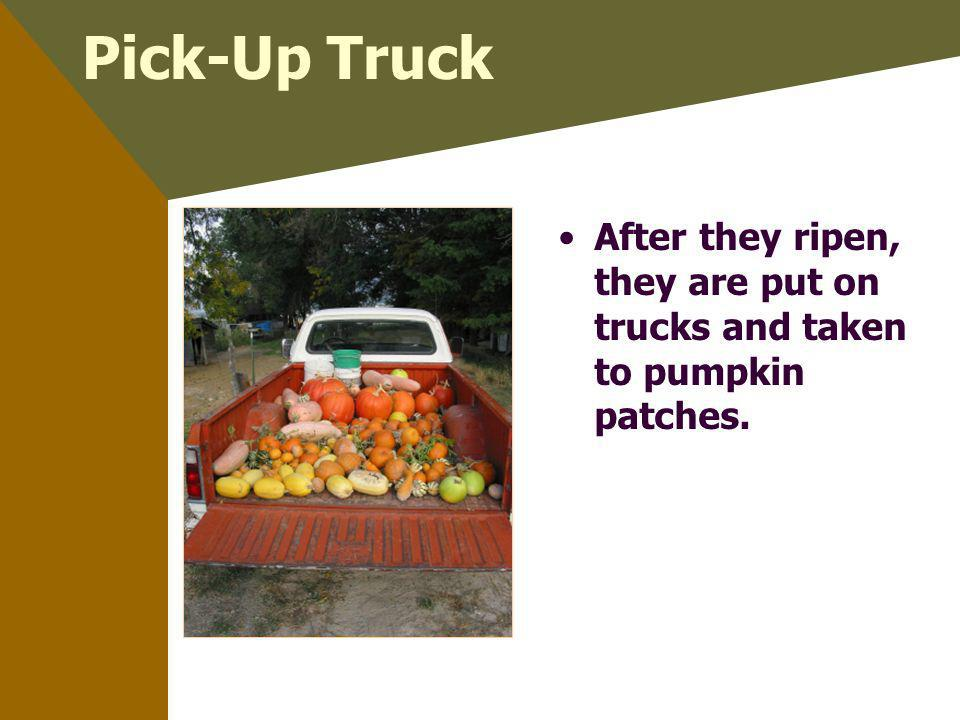 Pick-Up Truck After they ripen, they are put on trucks and taken to pumpkin patches.