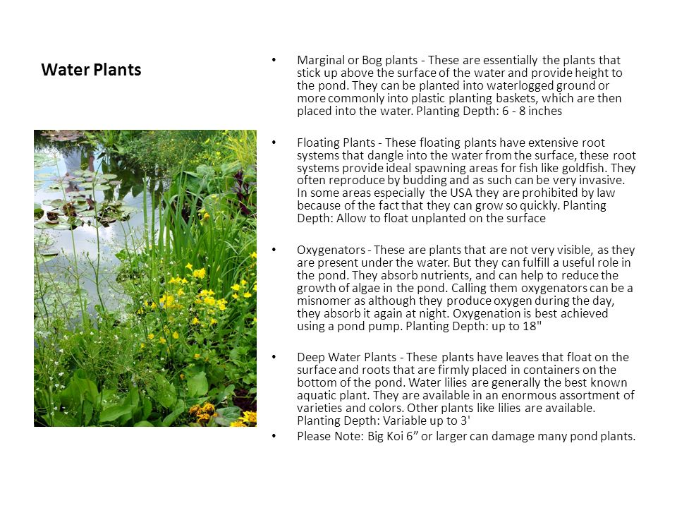 Water Plants Marginal or Bog plants - These are essentially the plants that stick up above the surface of the water and provide height to the pond.