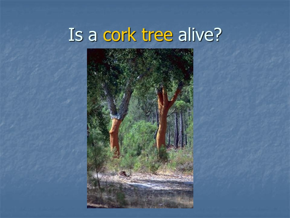 Is a cork tree alive