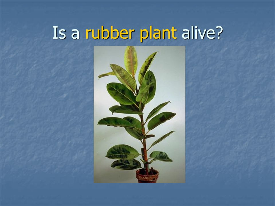 Is a rubber plant alive