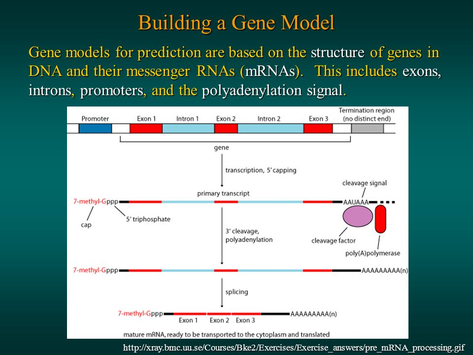 Building a Gene Model Gene models for prediction are based on the structure of genes in DNA and their messenger RNAs (mRNAs).