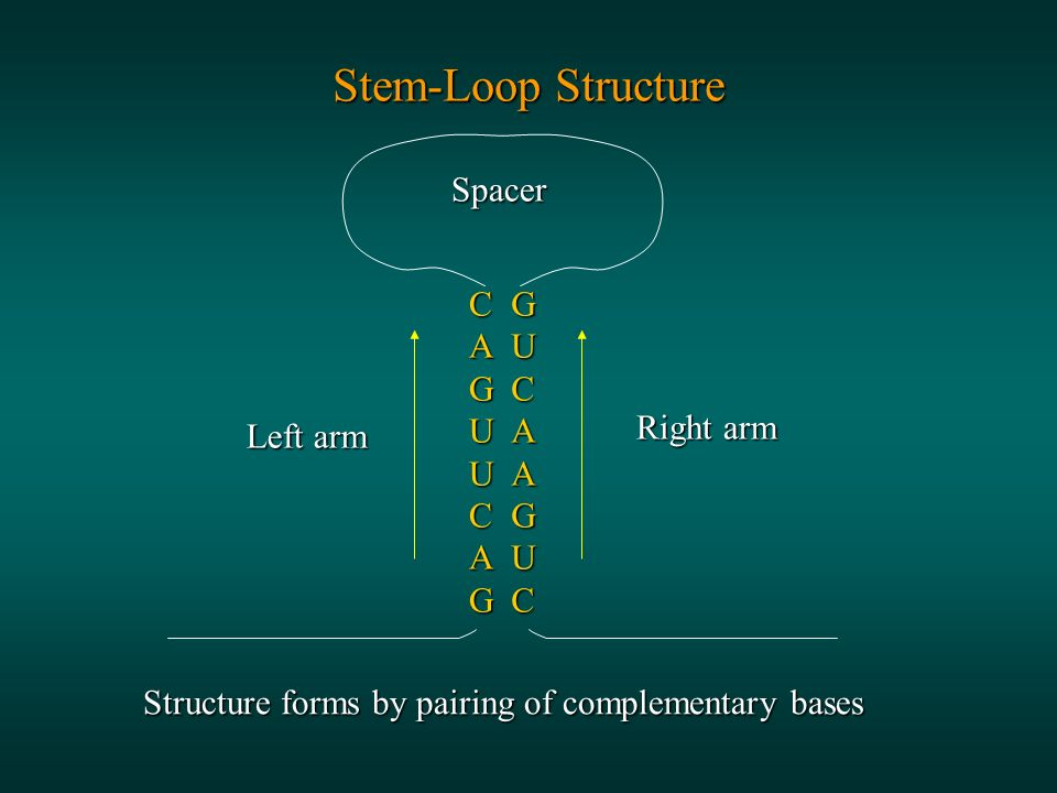Stem-Loop Structure CAGUUCAGGUCAAGUC Spacer Left arm Right arm Structure forms by pairing of complementary bases