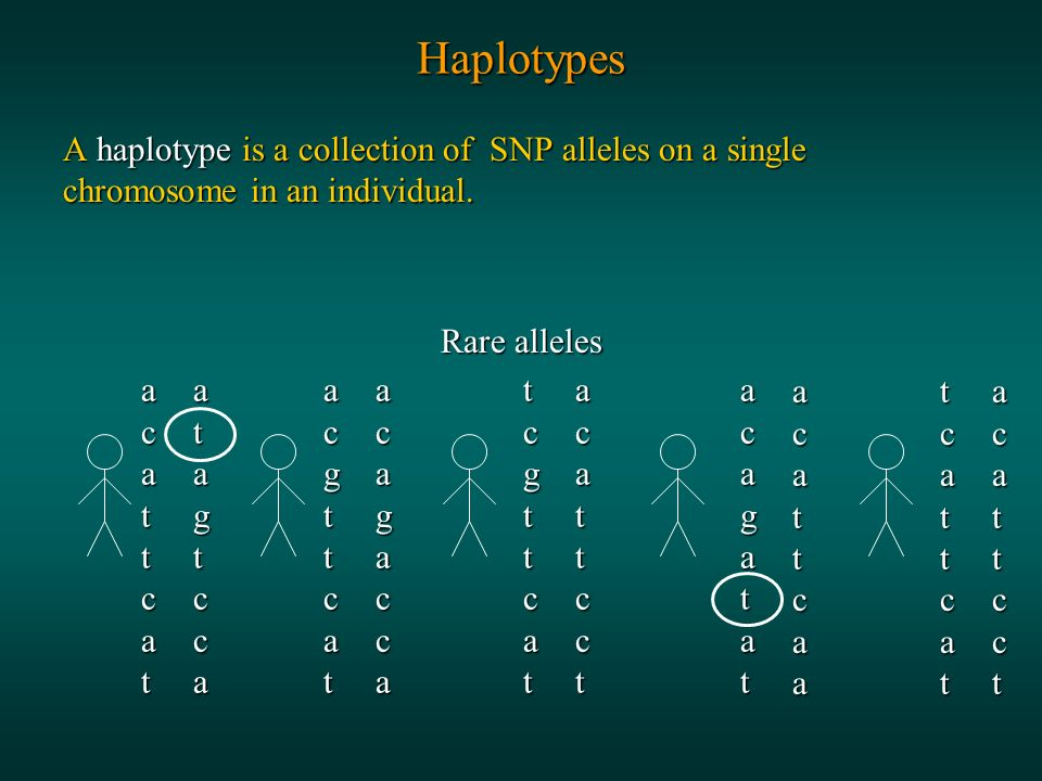 Haplotypes A haplotype is a collection of SNP alleles on a single chromosome in an individual.
