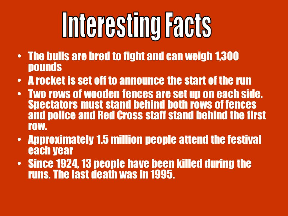 The bulls are bred to fight and can weigh 1,300 pounds A rocket is set off to announce the start of the run Two rows of wooden fences are set up on each side.