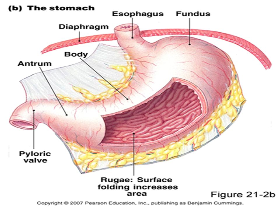 Anatomically The Stomach Is Usually Divided Into Two Major Parts