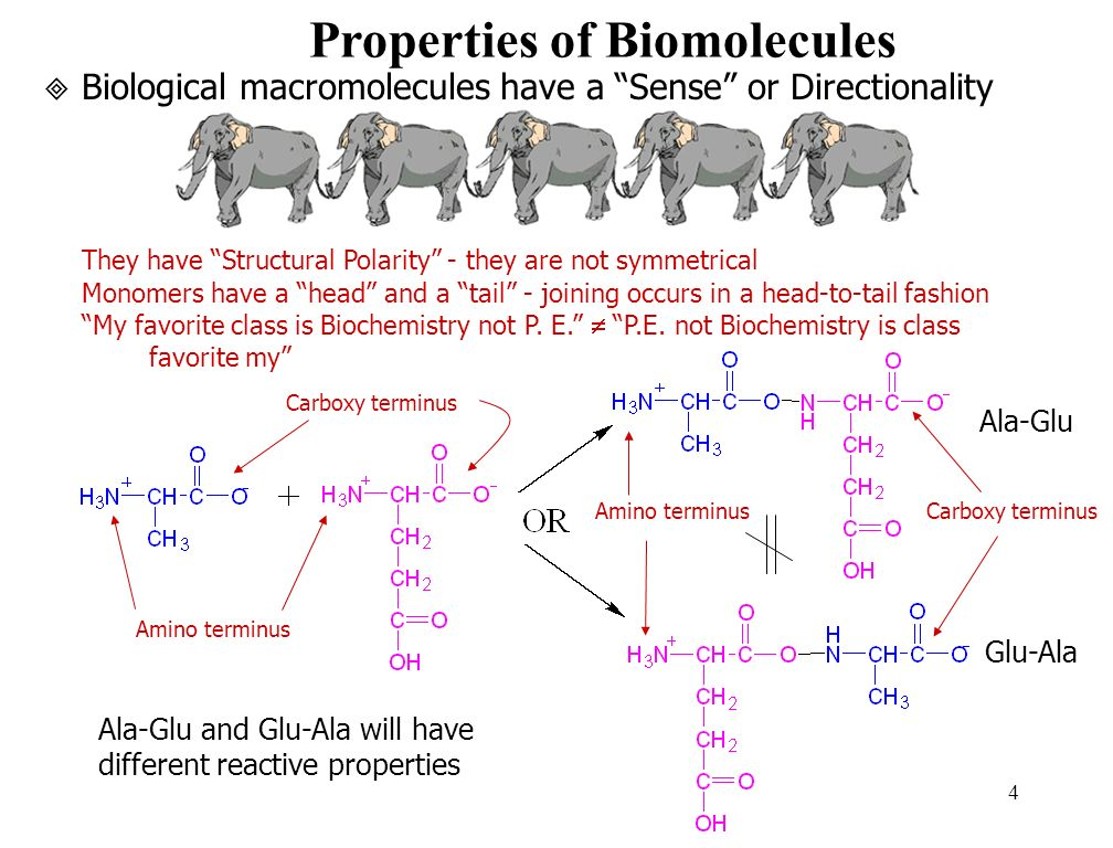 4 Biological macromolecules have a Sense or Directionality They have Structural Polarity - they are not symmetrical Monomers have a head and a tail - joining occurs in a head-to-tail fashion My favorite class is Biochemistry not P.