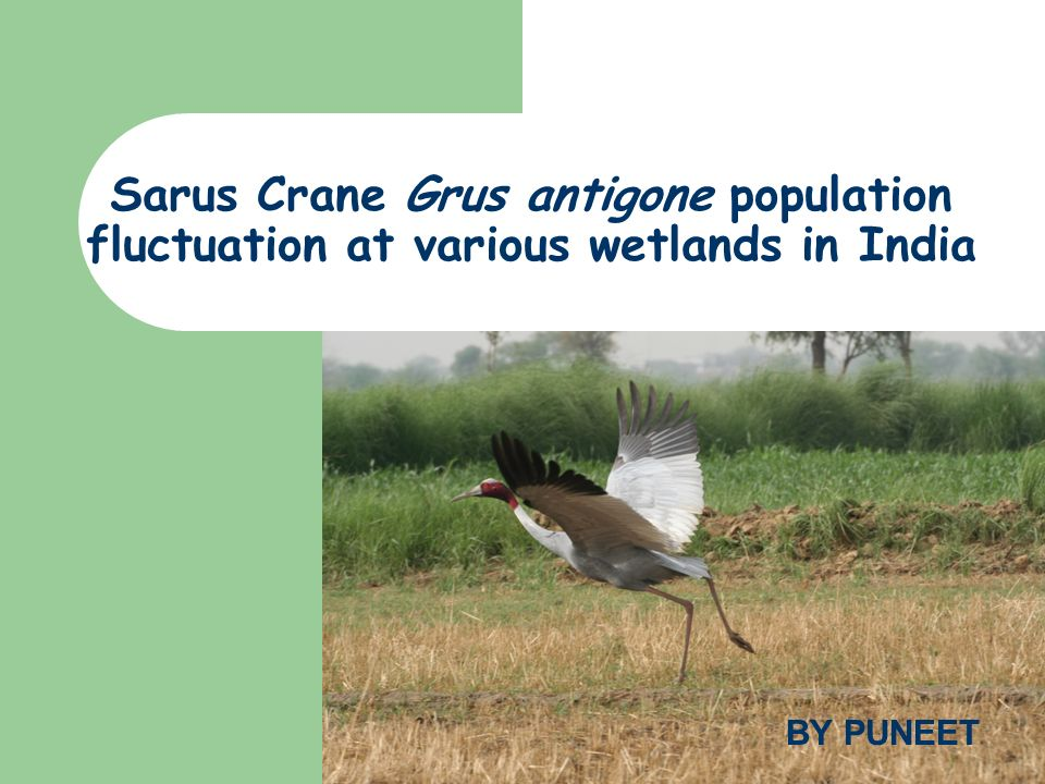 Sarus Crane Grus antigone population fluctuation at various wetlands in India BY PUNEET