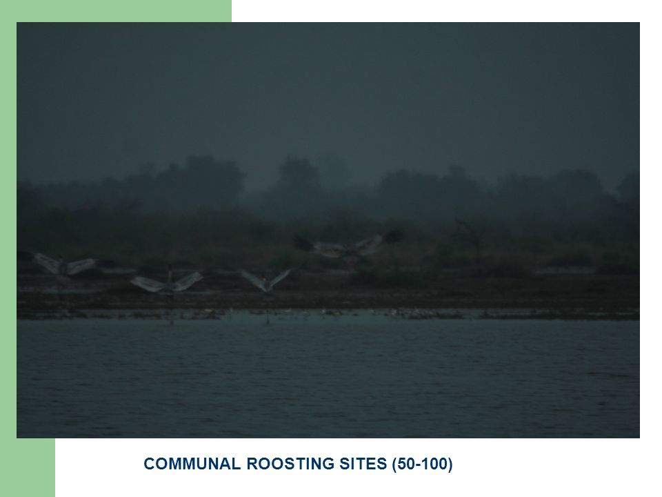 COMMUNAL ROOSTING SITES (50-100)