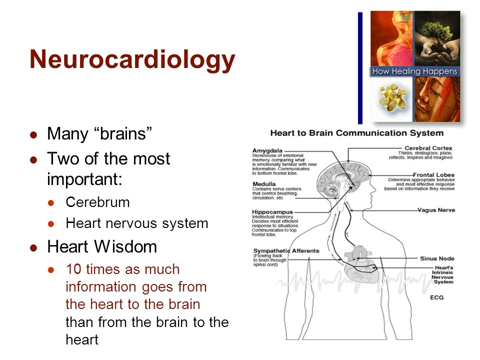 Many brains Two of the most important: Cerebrum Heart nervous system Heart Wisdom 10 times as much information goes from the heart to the brain than from the brain to the heart