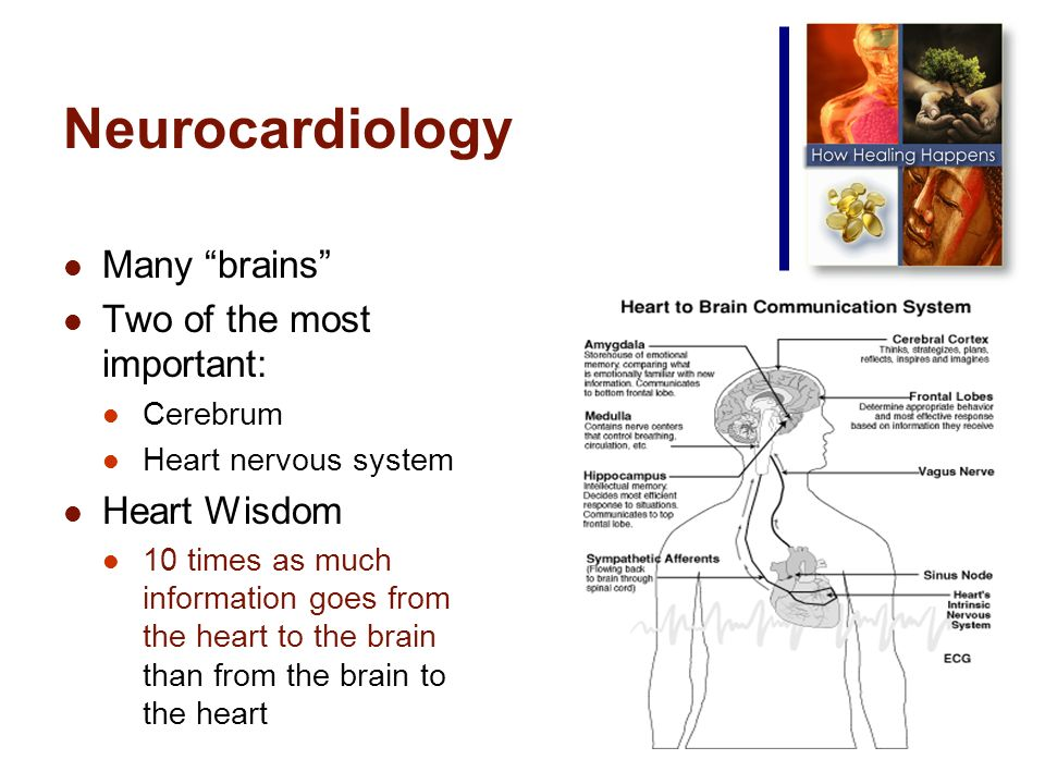 Neurocardiology Many brains Two of the most important: Cerebrum Heart nervous system Heart Wisdom 10 times as much information goes from the heart to the brain than from the brain to the heart