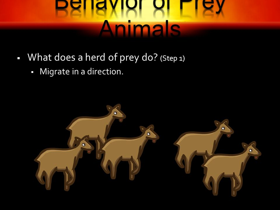 What does a herd of prey do (Step 1) Migrate in a direction.