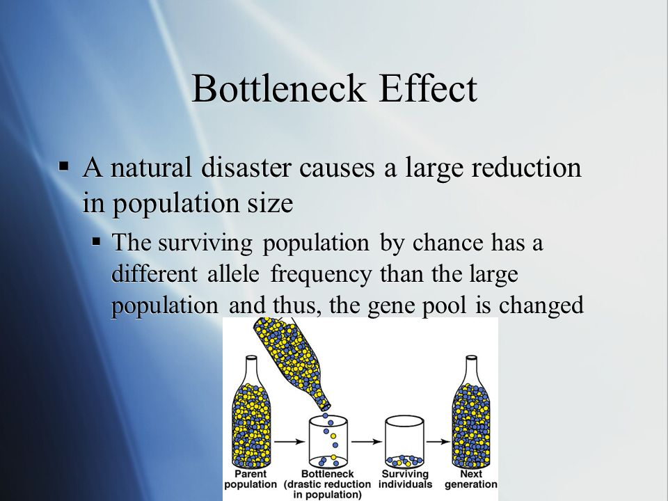 Bottleneck Effect A natural disaster causes a large reduction in population size The surviving population by chance has a different allele frequency than the large population and thus, the gene pool is changed A natural disaster causes a large reduction in population size The surviving population by chance has a different allele frequency than the large population and thus, the gene pool is changed