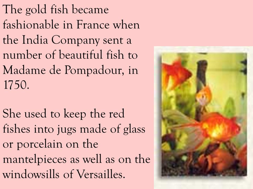 The gold fish became fashionable in France when the India Company sent a number of beautiful fish to Madame de Pompadour, in 1750.