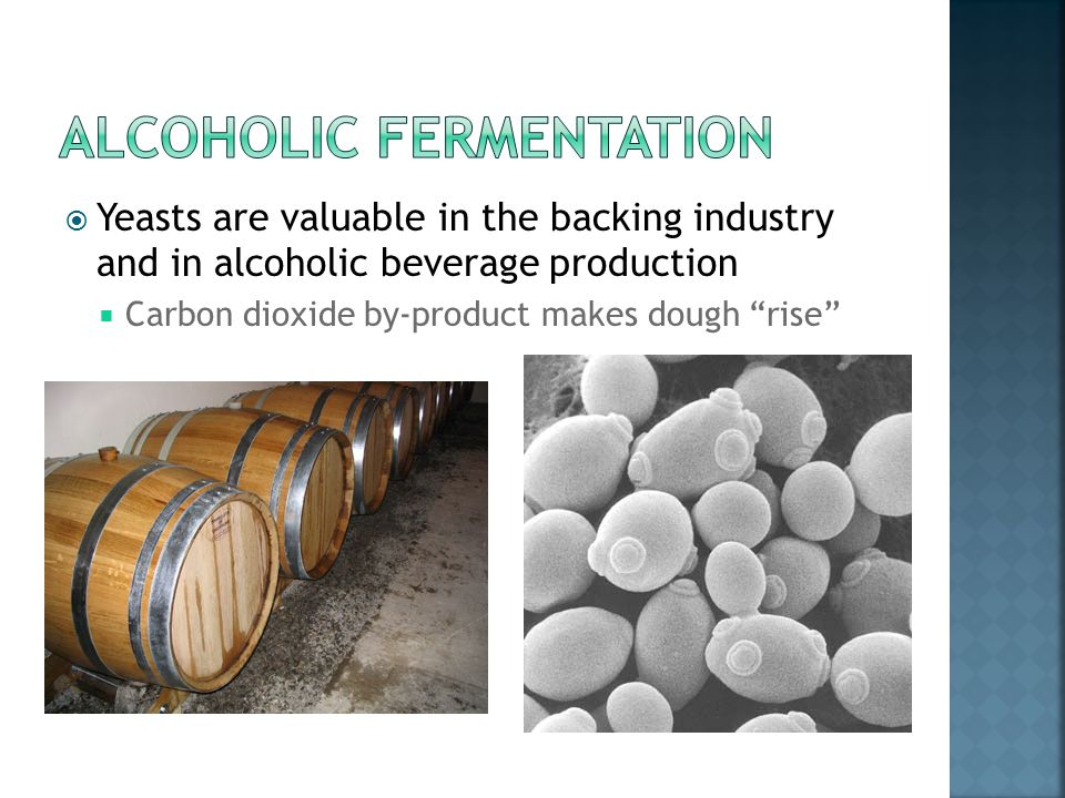 Yeasts are valuable in the backing industry and in alcoholic beverage production Carbon dioxide by-product makes dough rise