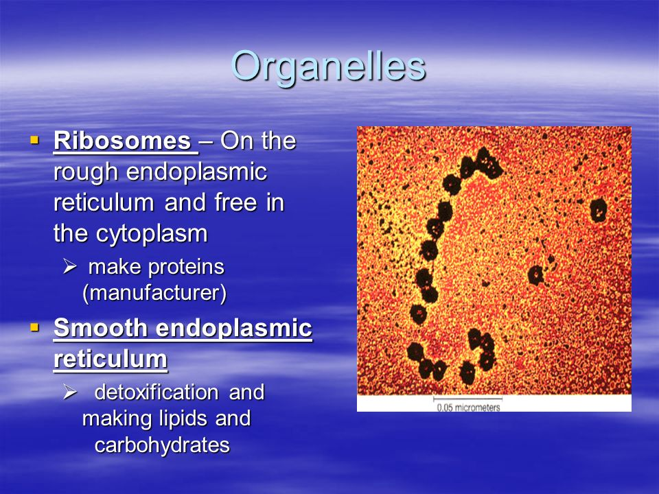 Organelles Ribosomes – On the rough endoplasmic reticulum and free in the cytoplasm Ribosomes – On the rough endoplasmic reticulum and free in the cytoplasm make proteins (manufacturer) make proteins (manufacturer) Smooth endoplasmic reticulum Smooth endoplasmic reticulum detoxification and making lipids and carbohydrates detoxification and making lipids and carbohydrates
