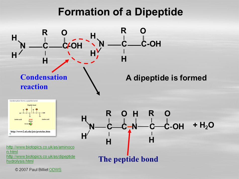 NCC-OH R H O H H R H O H H Condensation reaction NCCNCC R H O H H NCC-OH R H O H + H 2 O The peptide bond A dipeptide is formed © 2007 Paul Billiet ODWSODWS Formation of a Dipeptide   n.html   hydrolysis.html