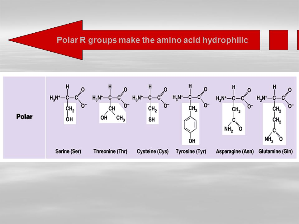 Polar R groups make the amino acid hydrophilic
