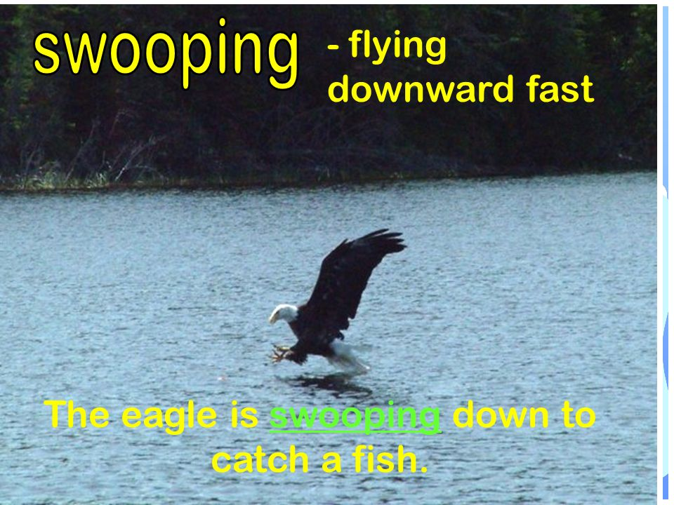 - flying downward fast The eagle is swooping down to catch a fish.