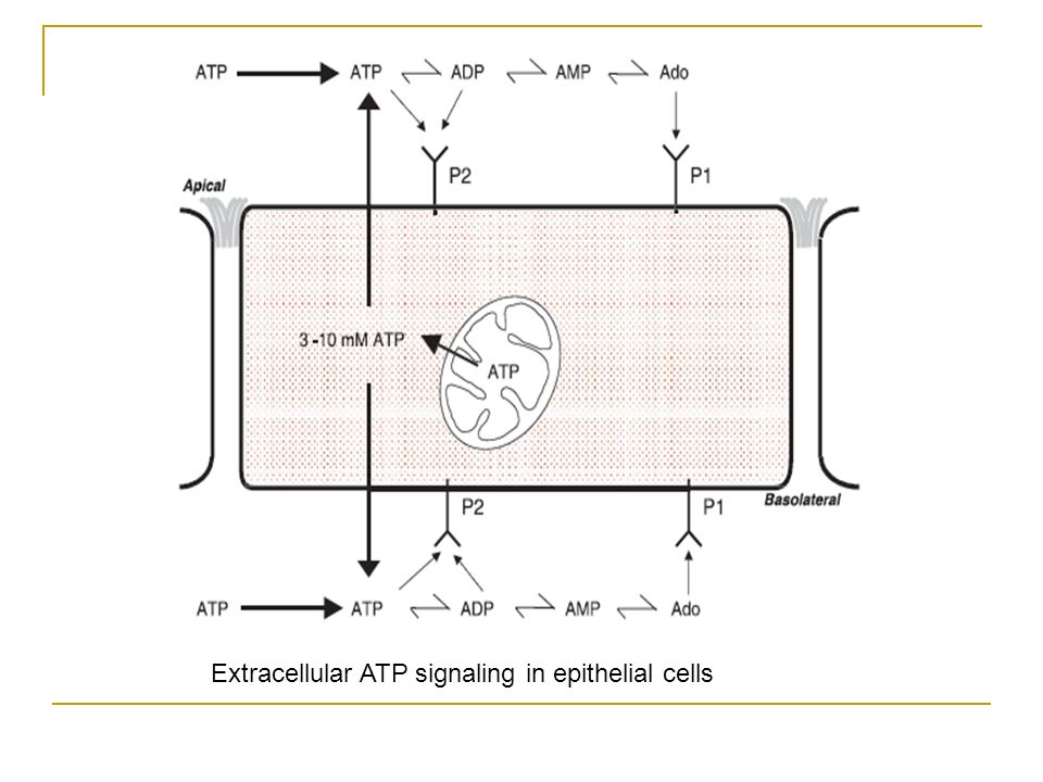 Extracellular ATP signaling in epithelial cells