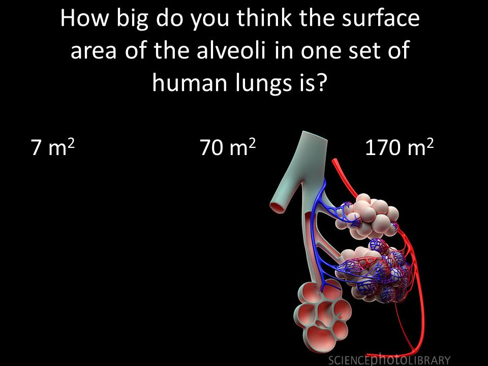 How big do you think the surface area of the alveoli in one set of human lungs is.