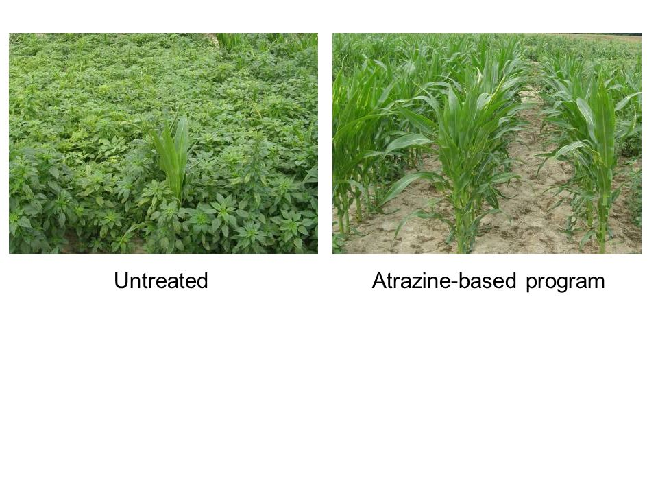 Untreated Atrazine-based program
