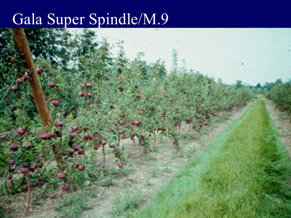 Gala Super Spindle/M.9