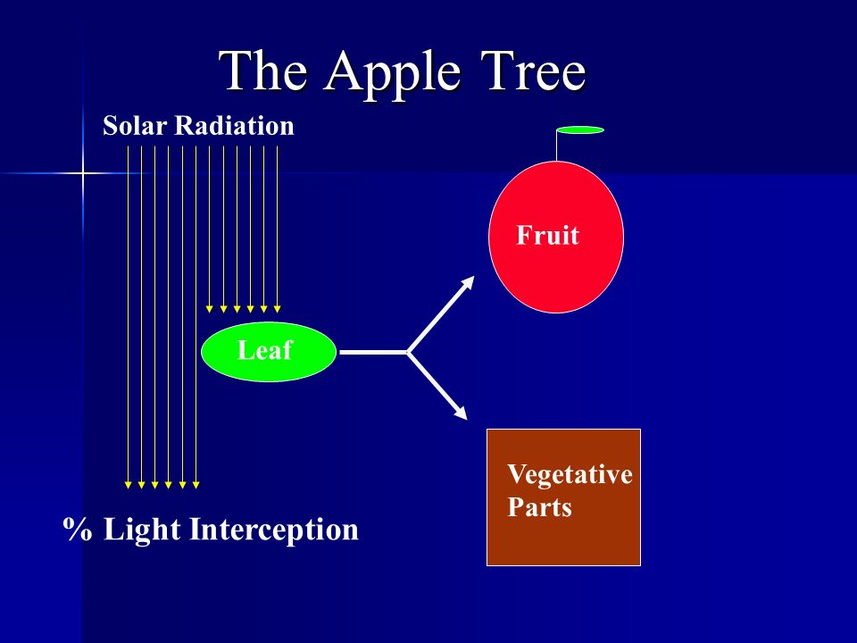 The Apple Tree Vegetative Parts Fruit Leaf Solar Radiation % Light Interception