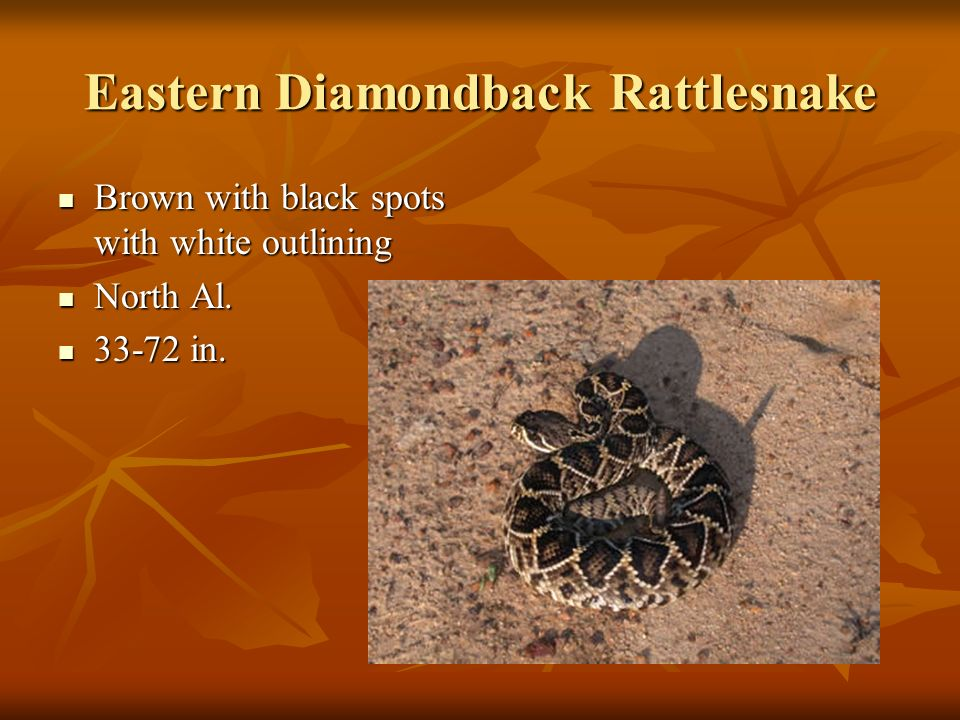 Eastern Diamondback Rattlesnake Brown with black spots with white outlining North Al in.