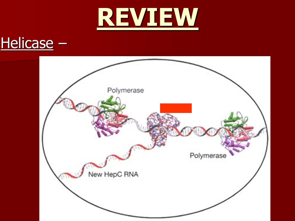 REVIEW Helicase –