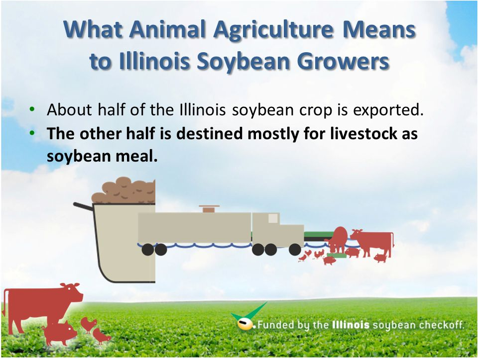 What Animal Agriculture Means to Illinois Soybean Growers About half of the Illinois soybean crop is exported.