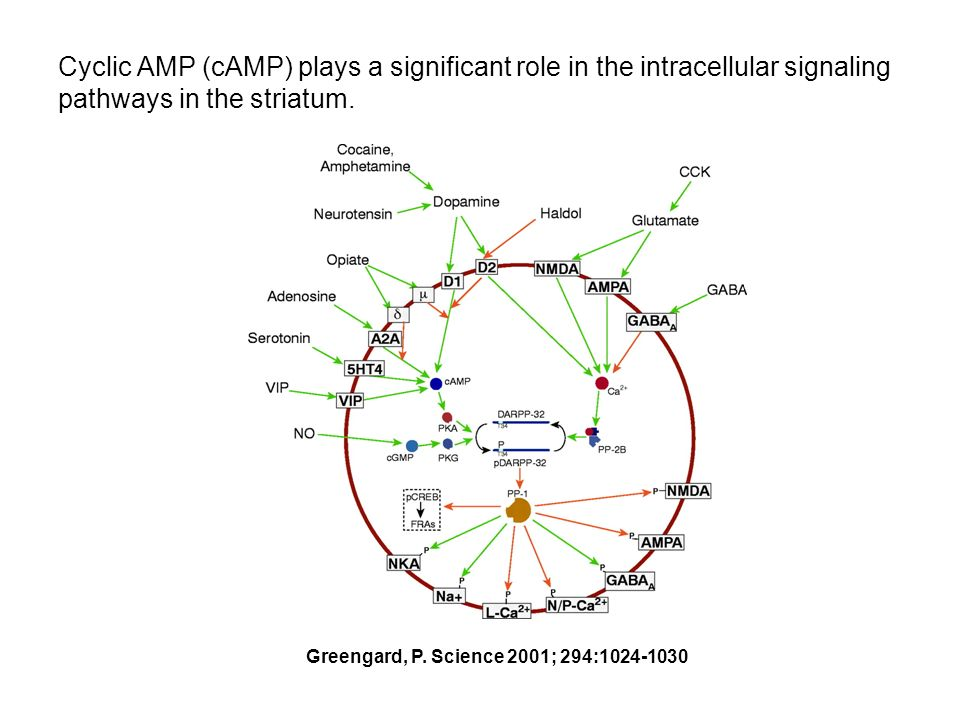 Cyclic AMP (cAMP) plays a significant role in the intracellular signaling pathways in the striatum.