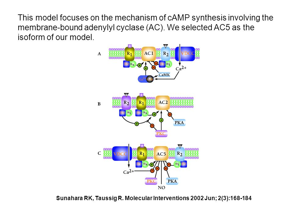 This model focuses on the mechanism of cAMP synthesis involving the membrane-bound adenylyl cyclase (AC).