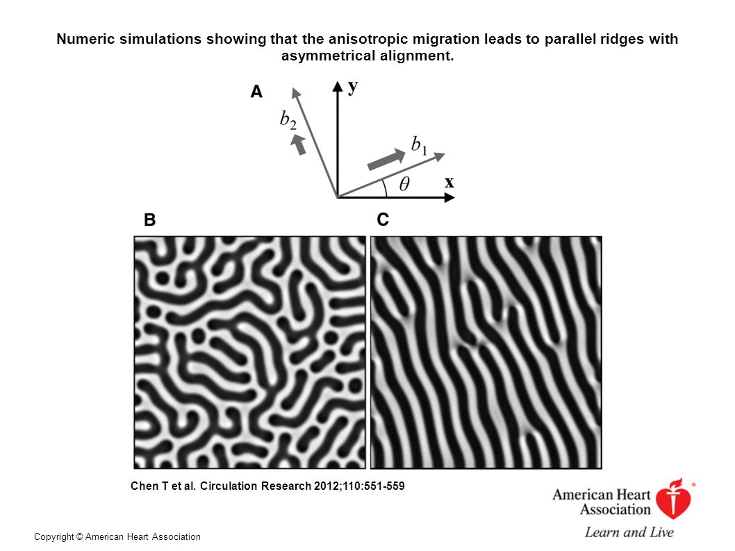 Numeric simulations showing that the anisotropic migration leads to parallel ridges with asymmetrical alignment.