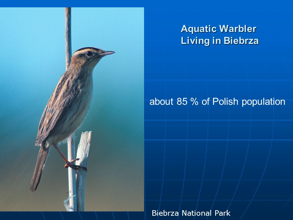 Aquatic Warbler Living in Biebrza about 85 % of Polish population Biebrza National Park
