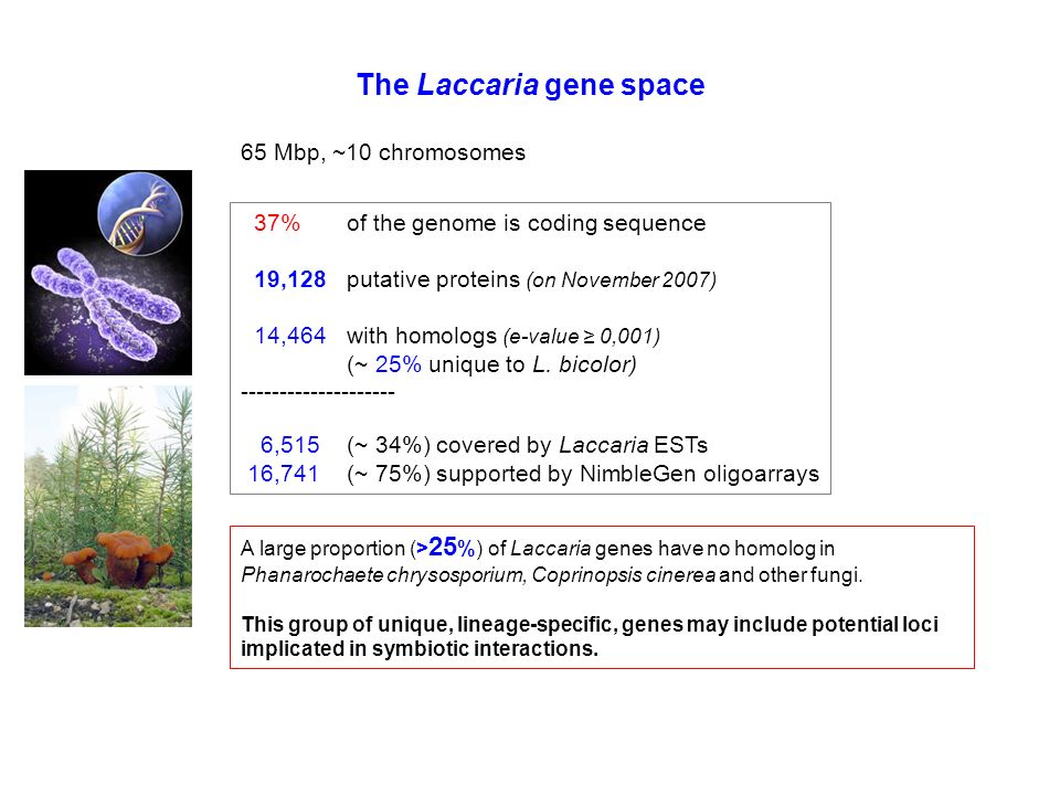 The Laccaria gene space 37% of the genome is coding sequence 19,128putative proteins (on November 2007) 14,464 with homologs (e-value 0,001) (~ 25% unique to L.