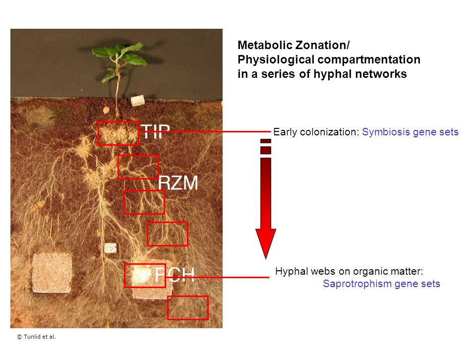 Metabolic Zonation/ Physiological compartmentation in a series of hyphal networks Tunlid et al.